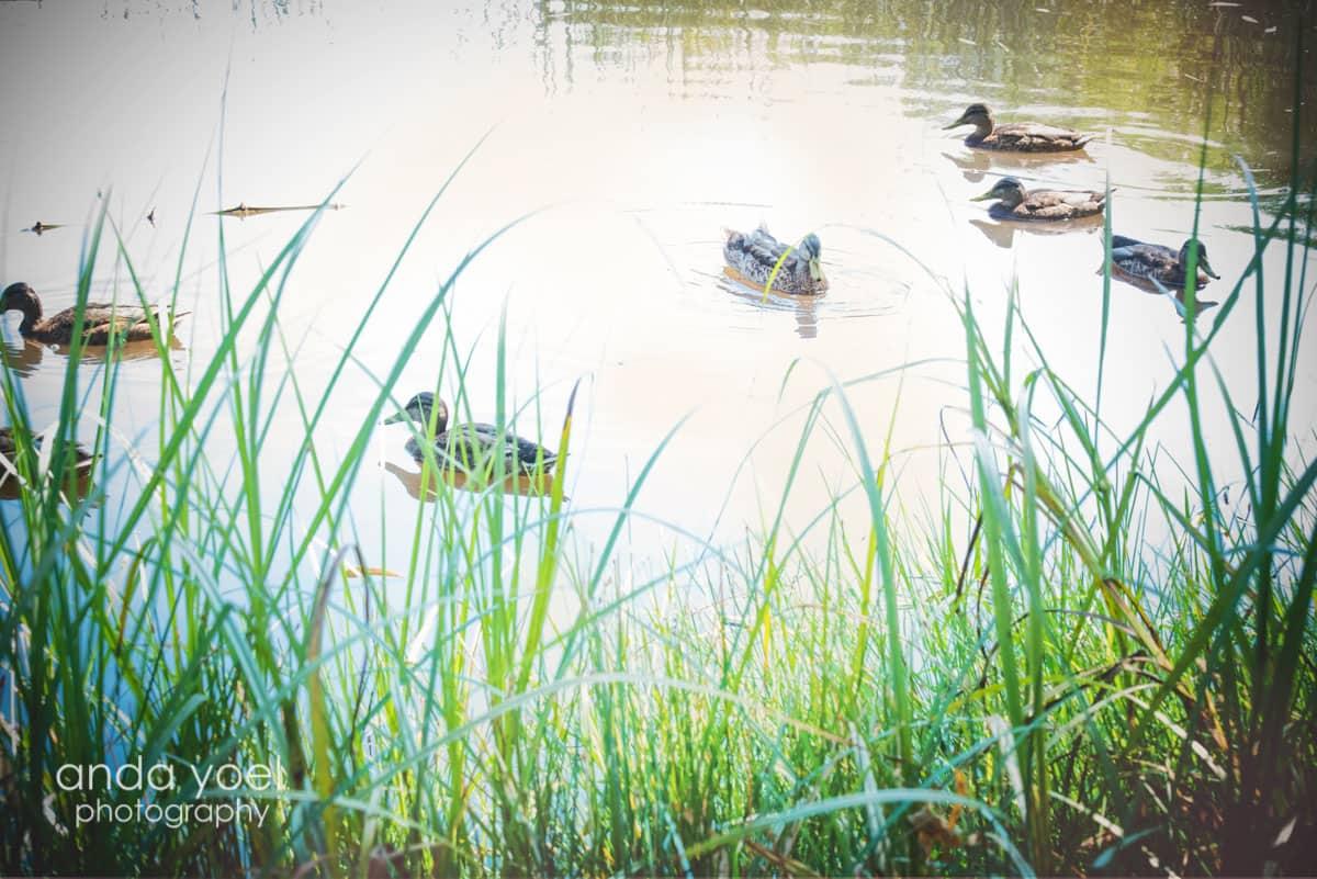 ברווזים באגם מסדרת צילומי ההריון של אנדה יואל